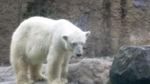 旭山動物園、シロクマ