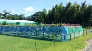 一面のブドウ畑が広がっていました